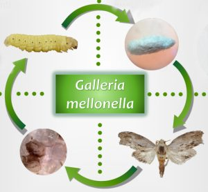 The life cycle of the Galleria mellonella moth (photo: eruflex)