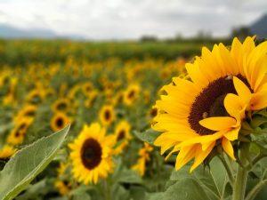 Il Sunflower BIPVp