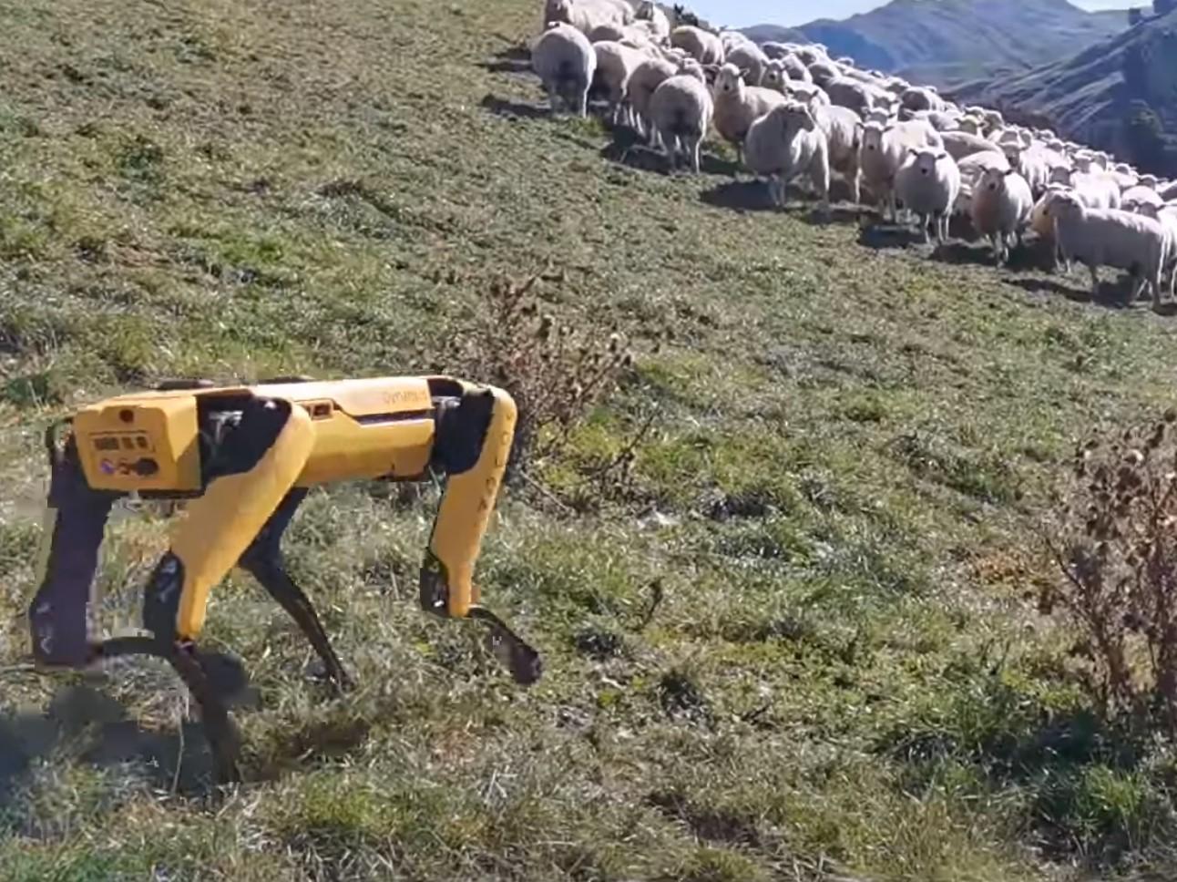 Il cane pastore? Ora e' robotico
