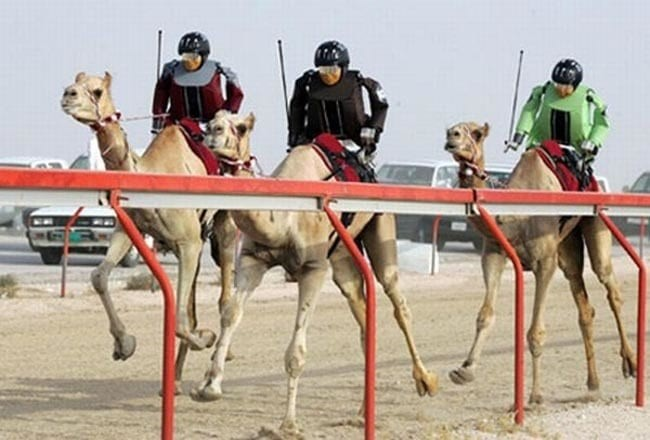 Dubai camel races resume with robot jockeys